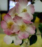 No rosa Foto de Stock Royalty Free