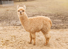 No sheared lama guanaco - llama glama Royalty Free Stock Photography