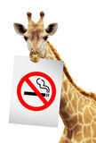 No smoke white paper on the brink of a giraffe Stock Image