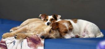 No sofá encontram-se em casa um par cães peluches, terrier de Jack Russell Imagens de Stock Royalty Free