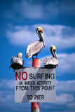 No Surfing Pelicans. No surfing sign at daytona beach florida with three pelicans perched upon it against a rich blue sky with soft white clouds Stock Photography