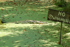 No Swimming. Large alligator in no swimming area stock photo