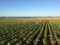 No-tillage soybean and corn Royalty Free Stock Photos