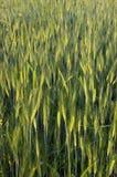 No un campo de trigo maduro Fotos de archivo