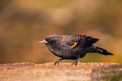 No un mirlo de alas rojas de la cría se encarama en un alimentador de la plataforma fotografía de archivo