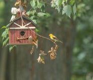 No Vacancies. A yellow finch sitting outside a bird house Stock Photo