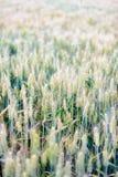 No verão, o trigo nos campos Fotos de Stock Royalty Free