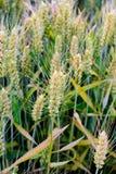 No verão, o trigo nos campos Fotografia de Stock Royalty Free