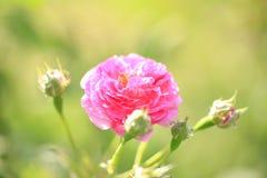 No verão, a rosa está florescendo Fotos de Stock Royalty Free