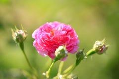 No verão, a rosa está florescendo Fotografia de Stock