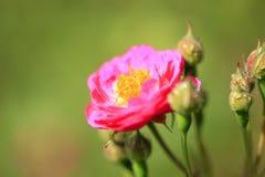 No verão, a rosa está florescendo Fotografia de Stock Royalty Free