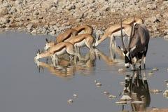 No waterhole Imagem de Stock