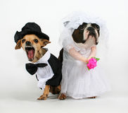 No way. Two dogs in wedding attire looking upset Stock Images