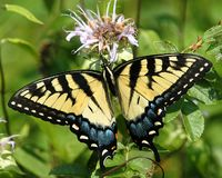 No3 de la mariposa Fotos de archivo