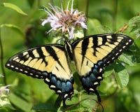 No3 della farfalla fotografie stock
