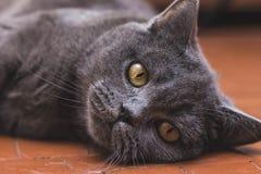 Nobel stolt katt som ligger på fönsterfönsterbräda Britten Shorthair med grå färger Royaltyfria Bilder