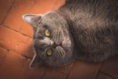 Nobel stolt katt som ligger på fönsterfönsterbräda Britten Shorthair med grå färger Arkivbilder