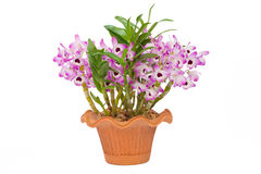 Free Nobile Orchid Stock Photography - 39755462