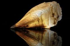 Nobilis ушной раковины, gigas Хемниц ушной раковины стоковая фотография