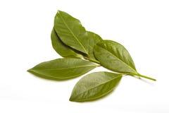 海湾月桂树(月桂属nobilis)在白色 免版税库存图片