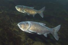 Nobilis de Arisichthys de la carpa cabeza grande subacuáticos imagenes de archivo