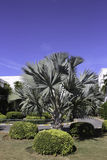 Nobilis de Bismarckia Fotografía de archivo libre de regalías