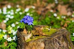 Nobilis de Hepatica Flores azuis da floresta Fotos de Stock Royalty Free