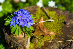 Nobilis de Hepatica Flores azuis da floresta Fotografia de Stock Royalty Free