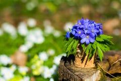 Nobilis de Hepatica Flores azuis da floresta foto de stock royalty free