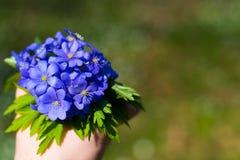 Nobilis de Hepatica Flores azuis da floresta foto de stock