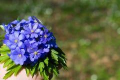 Nobilis de Hepatica Flores azuis da floresta imagens de stock