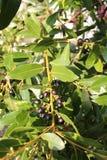 Nobilis de Laurus avec ses fruits noirs Images stock