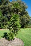 Nobilis de pin ou de wollemia de Wollemi un arbre conifére dans jardins botaniques SA Australie d'Adelaïde photos stock