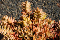 Nobilis dell'aloe - pianta succulente rossa Fotografia Stock Libera da Diritti