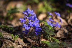 Nobilis di Hepatica, fiori blu della prima molla fotografia stock libera da diritti