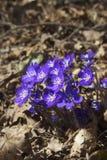 nobilis hepatica Στοκ Φωτογραφία