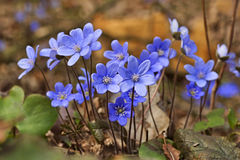 Nobilis Hepatica hepatica Anemone, Liverwort που ανθίζουν την άνοιξη στο λιβάδι Στοκ Εικόνα