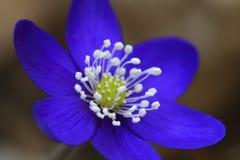Nobilis van Hepatica Royalty-vrije Stock Afbeeldingen