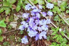 Nobilis violetas de Hepatica da flor da floresta Imagens de Stock Royalty Free