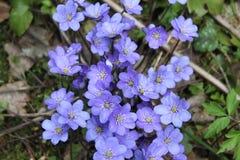 Nobilis violetas de Hepatica da flor da floresta Imagem de Stock Royalty Free