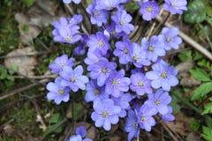Nobilis violetas de Hepatica da flor da floresta Fotos de Stock