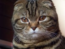 noble кота Стоковые Фото