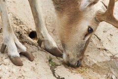 noble оленей европейский Стоковые Фотографии RF
