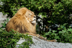 Noble adult male lion resting on stone rock at green bushes background stock photography