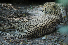 Noble adult resting cheetah at dry land bushy background. Noble adult is resting cheetah at dry land bushy background Royalty Free Stock Photography