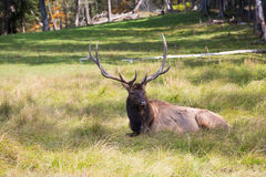 Noble big deer resting in the grass. Great safari park Omega in the vicinity of Montreal. Noble big deer resting in the grass Royalty Free Stock Photography