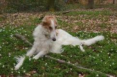 Noble Borzoi Dog Stock Images