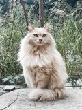 Noble Cat Royalty Free Stock Images