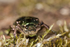 Noble chafer (Gnosimus nobilis) Royalty Free Stock Images