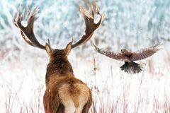 Noble deer with big horns and raven in flight in a winter fairy forest. Christmas winter image.  royalty free stock photography